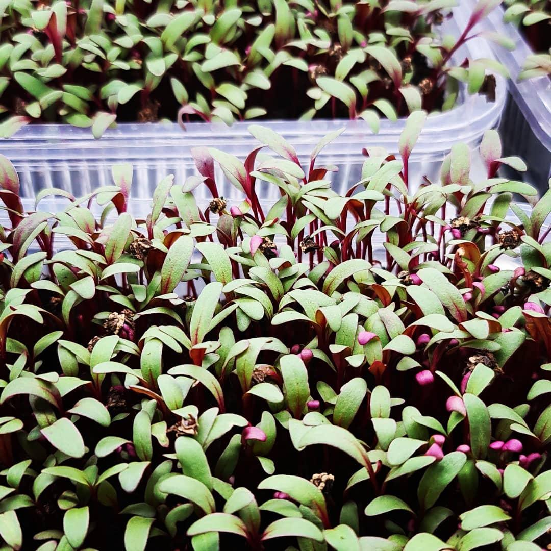 Microgreens ( Mikrobilje )